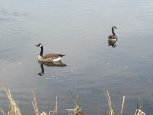 Jazzy scared these geese off of the path & into the water.  Good girl!