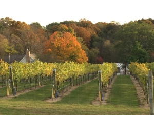 The vineyard was lit up with autumn colors~
