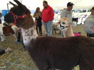 This was an Alpaca.  He/she had huge eyes. They are from South America and resembles a small llama.